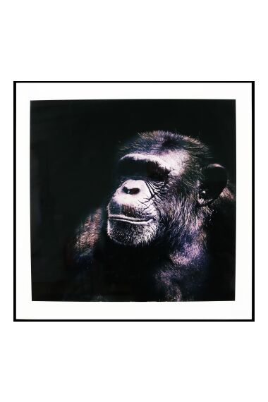 Tavla i Glas Chimpanzee